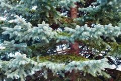 Picea azul Imagen de archivo