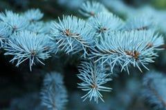 Picea azul Fotos de archivo