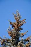 Picea azul Imágenes de archivo libres de regalías