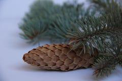 Picea azul Foto de archivo libre de regalías
