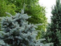 Picea azul en el parque de la ciudad Imagen de archivo libre de regalías