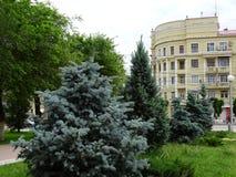 Picea azul en el parque de la ciudad Imagen de archivo