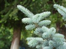 Picea azul en el parque de la ciudad Fotografía de archivo