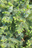 Picea babies nidiformis, pine with buds Stock Image