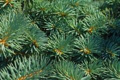 Picea blanca Foto de archivo