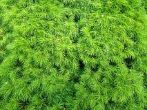 Picea canadiense Imagen de archivo