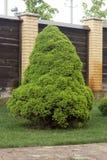 Picea canadiense verde clara Fotografía de archivo libre de regalías