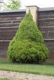 Picea canadiense verde clara Fotos de archivo