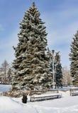 Picea cerca del banco cubierto con nieve mullida por la mañana soleada temprana del invierno del parque de la ciudad Fotografía de archivo