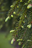 Picea closeup Stock Photo
