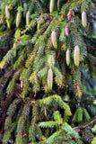 Picea con los conos Fotografía de archivo
