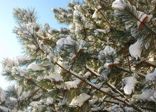 Picea con los conos y la nieve Foto de archivo