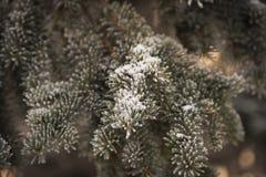 Picea congelada en el invierno imágenes de archivo libres de regalías