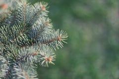 Picea de la rama Imagen de archivo