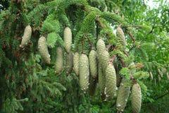 Picea de Noruega (la Picea abies) Fotos de archivo