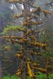 Picea de Sitka en la niebla imagen de archivo