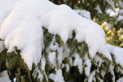 Picea debajo de la nieve Imagen de archivo libre de regalías