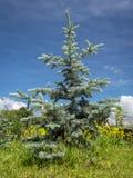 Picea del azul de Hoopsii Fotografía de archivo libre de regalías