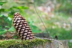 Picea del cono pegada en un tronco viejo Foto de archivo libre de regalías