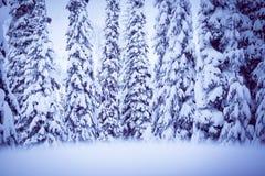 Picea del invierno Imagenes de archivo