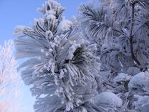 Picea del pino de la rama en el paisaje nevoso hermoso del invierno de la nieve en Siberia fotos de archivo