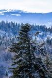Picea en el canto Imagen de archivo libre de regalías