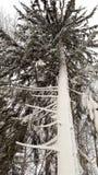 Picea en la nieve Imagen de archivo libre de regalías