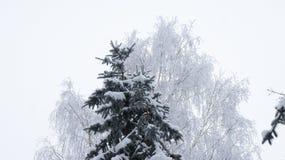 Picea en la nieve y abedul en escarcha Imágenes de archivo libres de regalías
