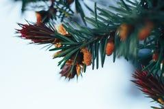 Picea en la primavera Fotos de archivo