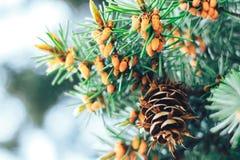 Picea en la primavera Fotos de archivo libres de regalías