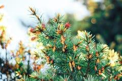 Picea en la primavera Fotografía de archivo