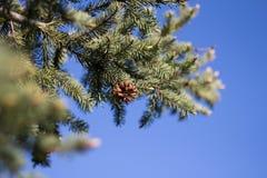 Picea en la primavera Fotografía de archivo libre de regalías