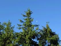 Picea en resorte Imagen de archivo libre de regalías