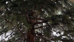 Picea en un día lluvioso almacen de metraje de vídeo