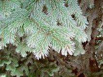Picea escarchada verde, aguja estupenda del espacio del hoar Ramas de árbol verdes que nievan Imagen de archivo