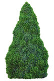 Picea Glauca & x28 хвойные семьи сосны; Moench& x29; Voss & x27; Sander& x27; s Blue& x27; & x27; Conica& x27; Дерево белого спру стоковые фотографии rf
