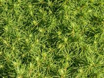 Picea glauca 'Alberta Globe' Royalty Free Stock Photography