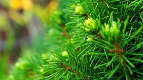 Picea glauca conica stock footage