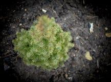 Picea glauca Conica green spruce Stock Photo