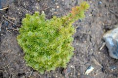 Picea glauca Conica green spruce Royalty Free Stock Image