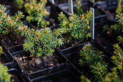 Picea glauca conica laurin. Young seedling of coniferous cultivar picea glauca conica laurin royalty free stock photo