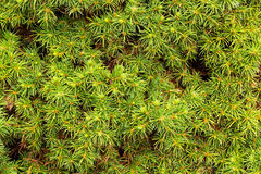 Picea Glauca Stock Images