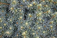Picea glauca plant Stock Images