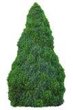 Picea Glauca y x28 del Pinaceae de la familia de pino; Moench& x29; Voss y x27; Sander& x27; s Blue& x27; y x27; Conica& x27; Árb Fotos de archivo libres de regalías