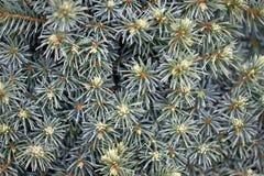 Picea glaucainstallatie Stock Afbeeldingen