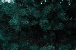 Picea joven imagen de archivo