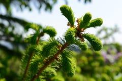 Picea joven con el spiderweb representado el día soleado, cierre para arriba Imágenes de archivo libres de regalías