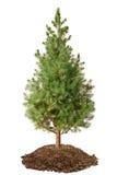 Picea joven (glauca Conica de la Picea) Imagen de archivo libre de regalías