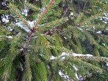 Picea la víspera de la Navidad Imágenes de archivo libres de regalías