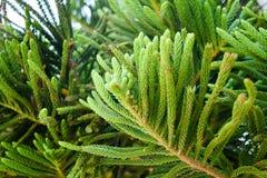 Picea Mariana Zbliżenie zielony drzewo Roślinność Grecja obraz stock
